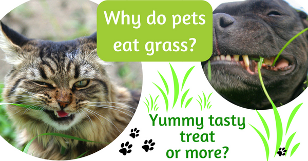 Why do pets eat grass? Tasty treat or more?