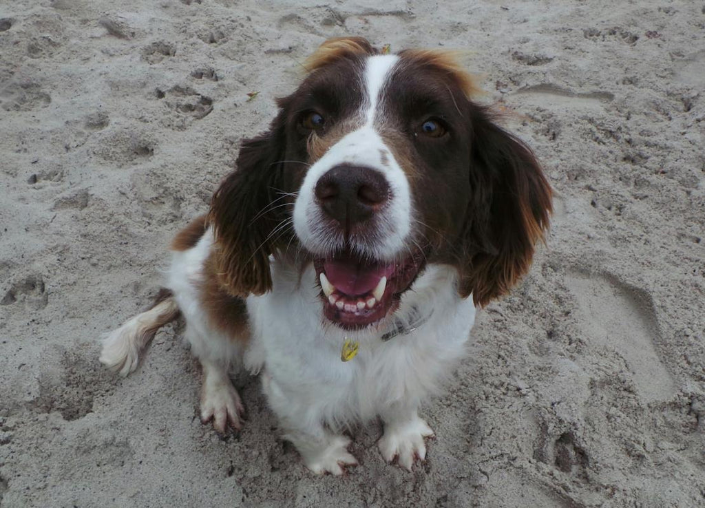 Amy the English Cocker Spaniel - Dogs Trust