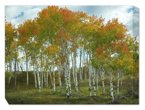 Aspens at Grand Teton Outdoor Canvas Art