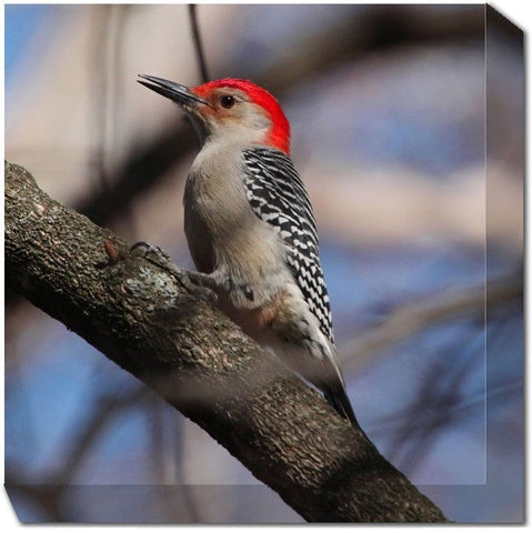 Redbellied Woodpecker Canvas Art