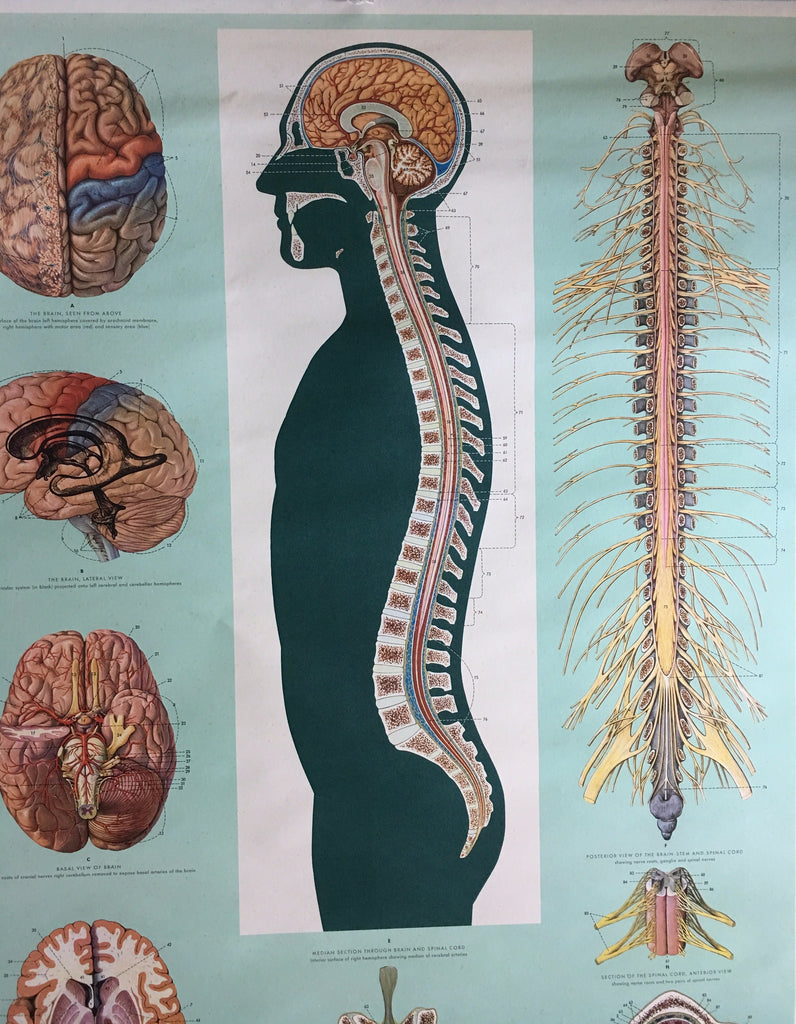 Medical Anatomy Chart, Brain and Spinal Cord by Ernst Klett Verlag 1966