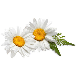 Chamomile Botanical Extract (10:1)