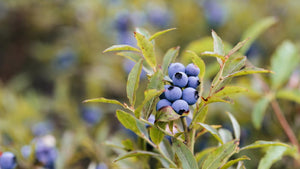 What's so good about Wild Blueberries?