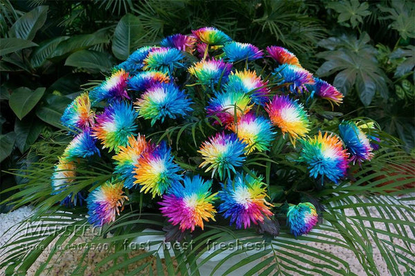 200 PCS/Rare Rainbow Colored Chrysanthemum Flower Seeds/Himalayan Orchid Seeds For Home Garden Planting