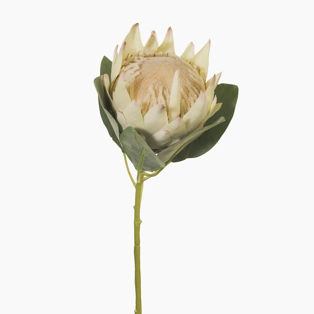 King Protea (cream/pink)