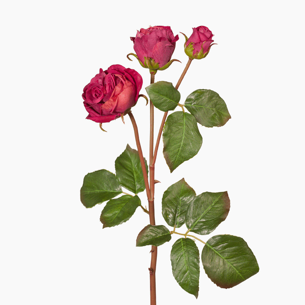 Ecuadorian rose (burgundy)
