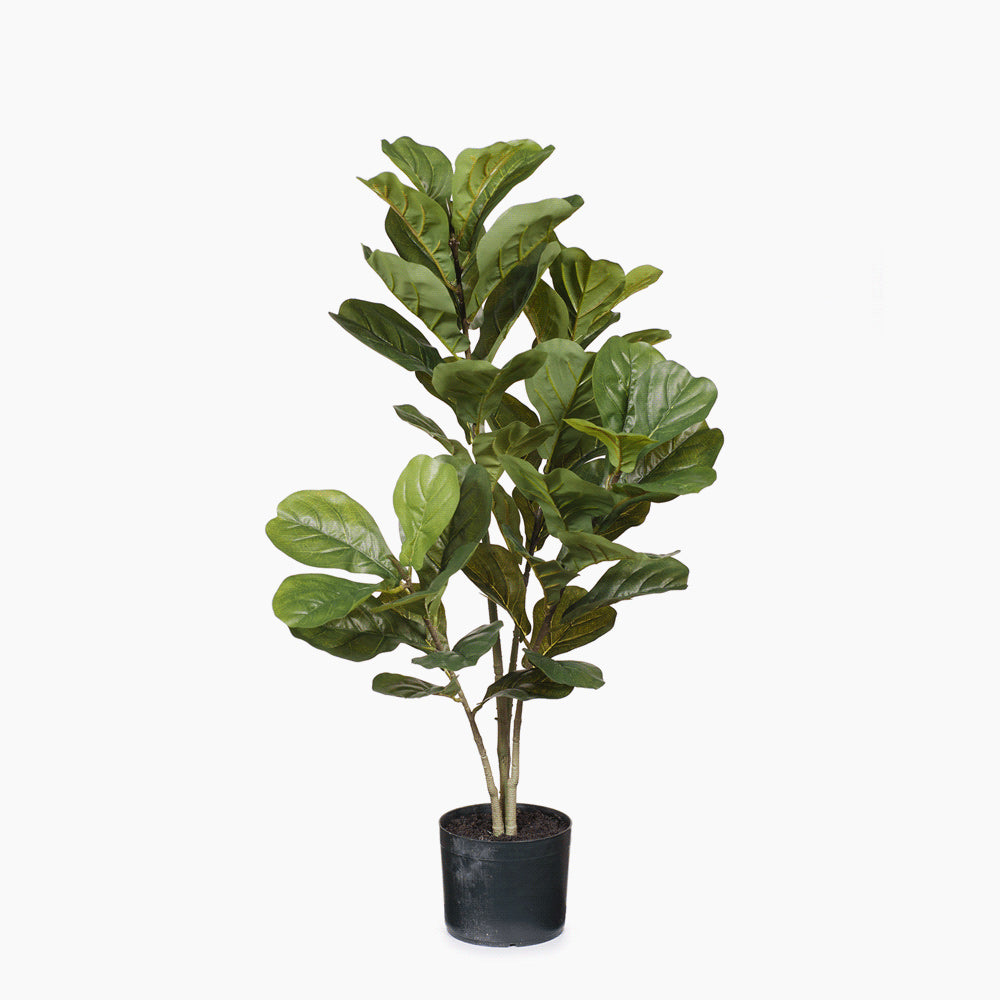 Fiddle Leaf Plant Green