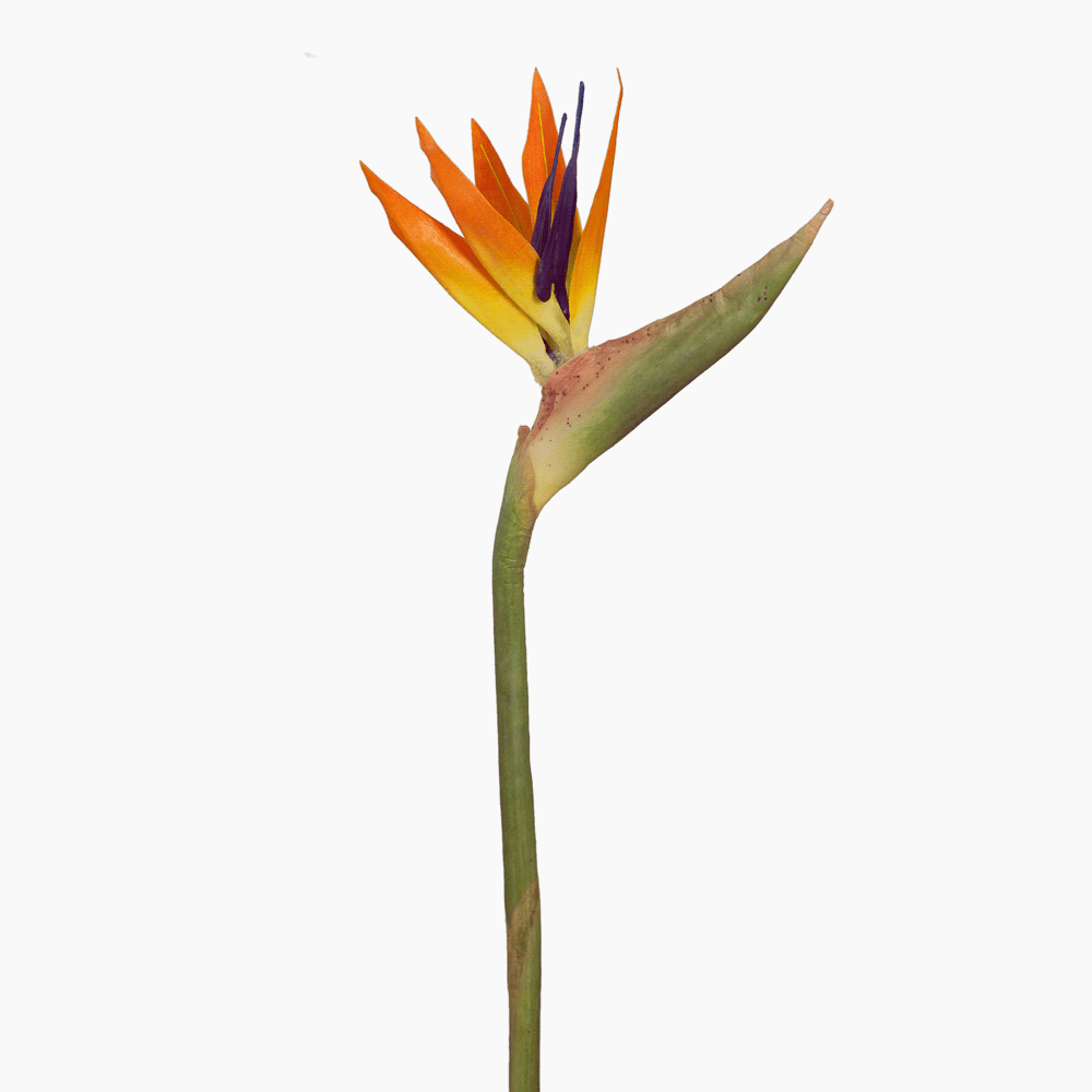 Bird of Paradise (Orange)
