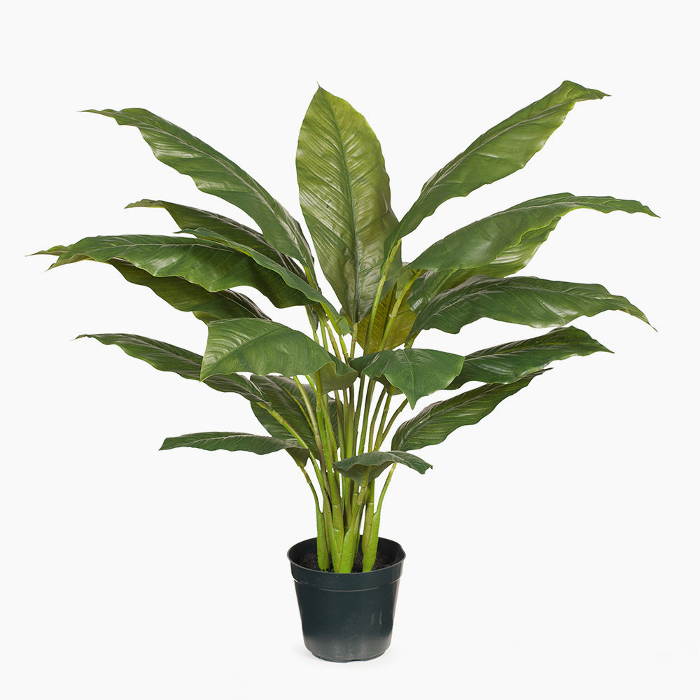 Spathiphyllum Plant (medium)