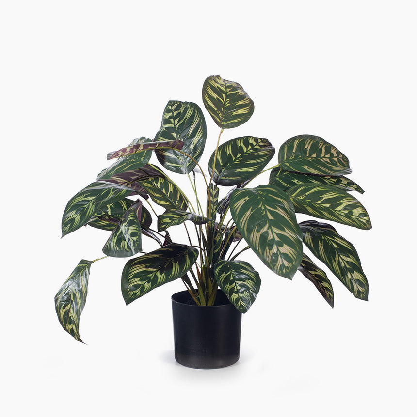 Calathea Plant (dark green)