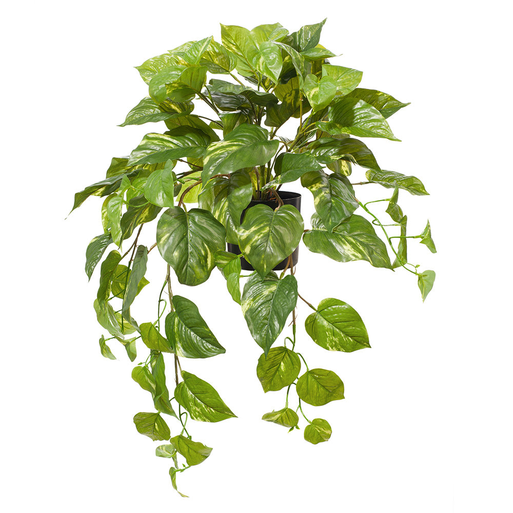Pothos hanging pot (variegated)