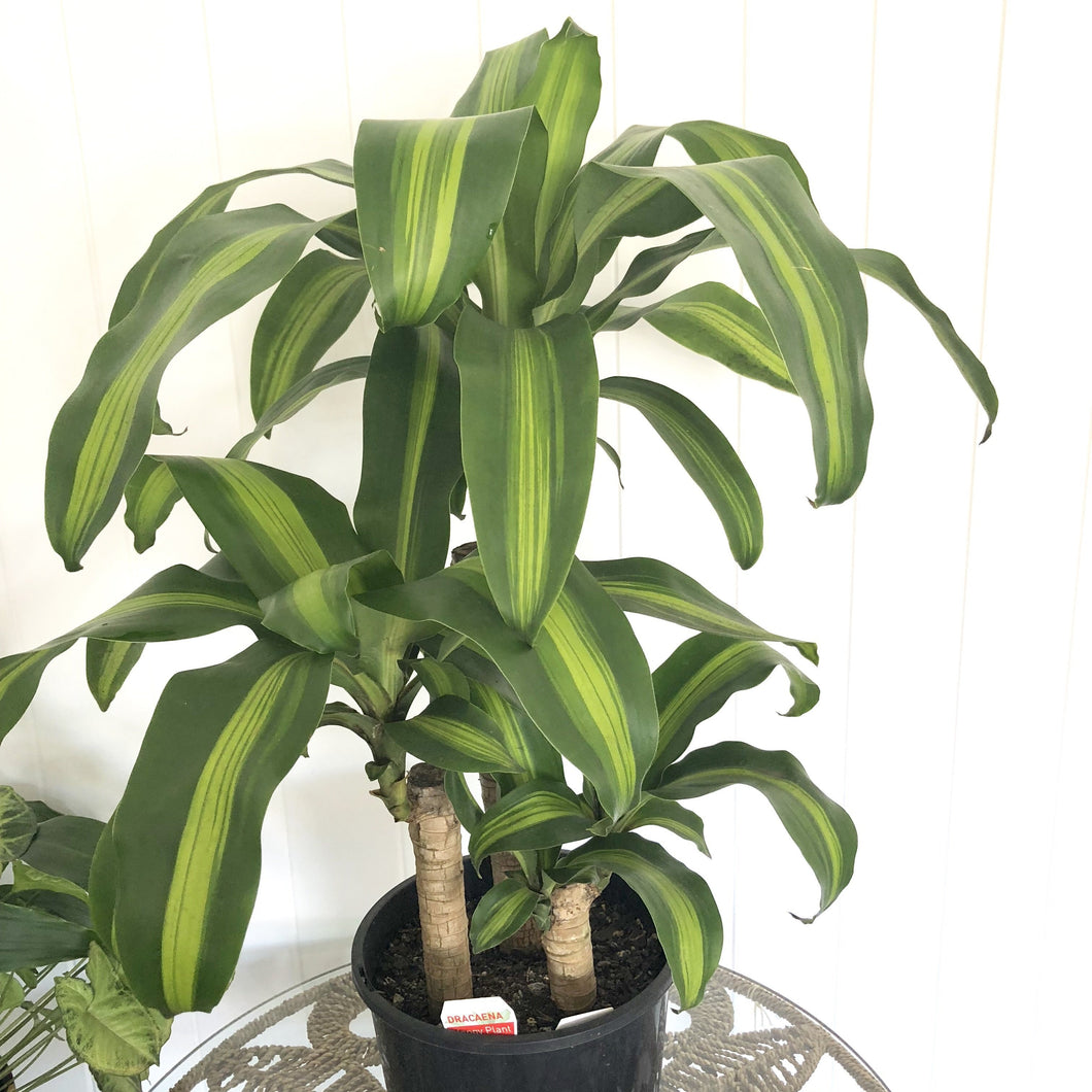 Dracaena\Happy Plant - Magnolia Lane