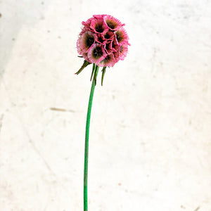 Preserved Scabiosa | Dusty Pink - Magnolia Lane