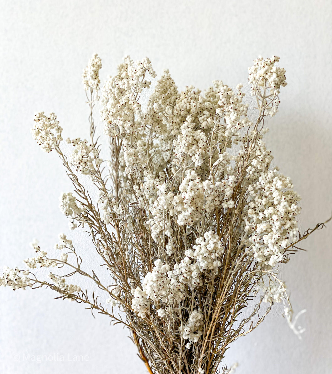 Australian Preserved Lamb's Tails - Dried Flowers - Magnolia Lane