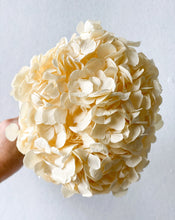 Load image into Gallery viewer, Preserved Hydrangea - Big Petal | Cream | Magnolia Lane