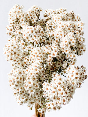 Dried Australian Daisy | Natural -Dried Flowers - Magnolia Lane