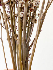 Dried Stirlingia | Natural - Dried Flowers - Magnolia Lane