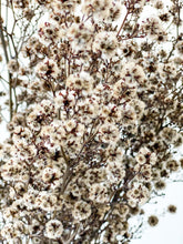 Load image into Gallery viewer, Dried Stirlingia | Natural - Dried Flowers - Magnolia Lane
