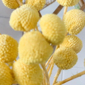 Preserved Billy Buttons | Canary Yellow - Magnolia Lane