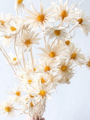 Dried Daisy | White - Dried Flowers - Magnolia Lane