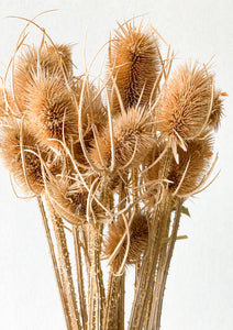 Teasel | Natural - Dried Flowers - Magnolia Lane