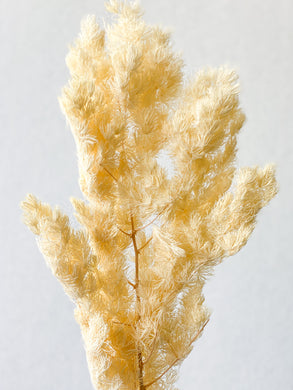 Preserved Asparagus Fern | Cream - Dried + Preserved Plants - Magnolia Lane