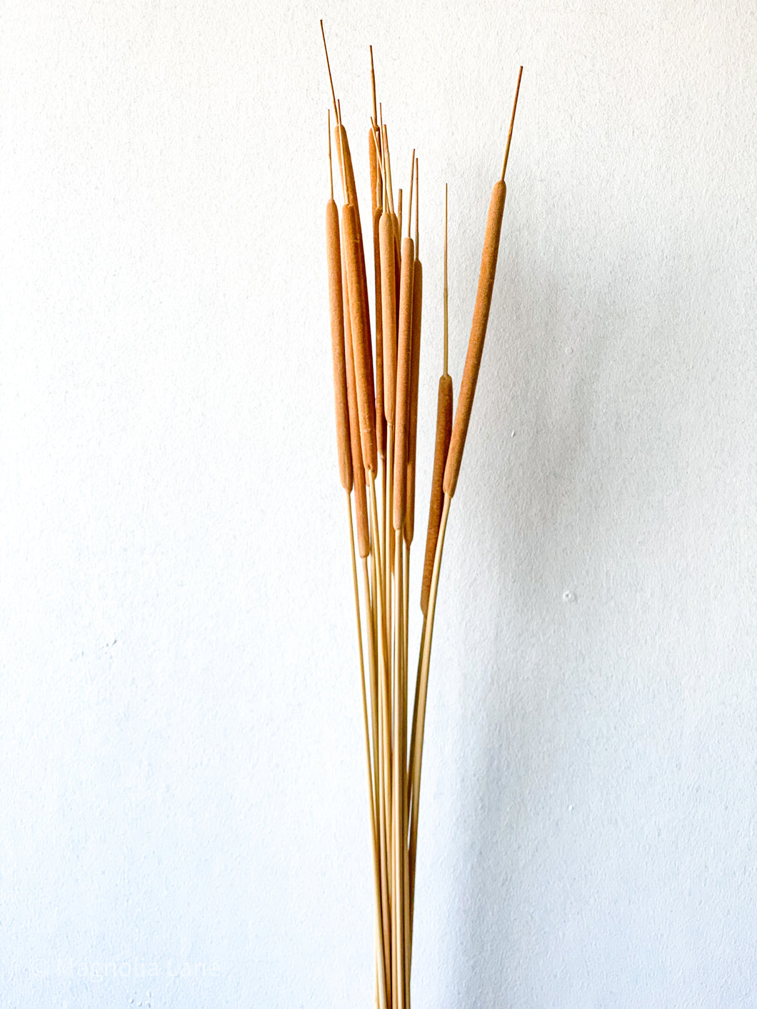 Dried Reed Spadix / Cattails | Natural - Dried Plants - Magnolia Lane
