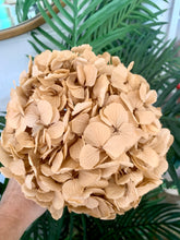 Load image into Gallery viewer, Preserved Hydrangea - Big Petal | Latte | Magnolia Lane