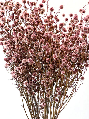 Dried Stirlingia | Pale Pink - Dried Flowers - Magnolia Lane