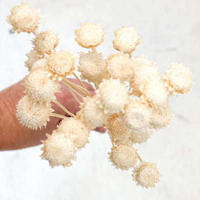 Dried Brazilian Chrysanthemum - Small | White - Magnolia Lane