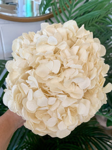 Preserved Hydrangea - Big Petal | Cream | Magnolia Lane