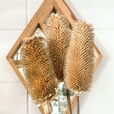 Dried Dipsacus Sativus | Natural - Magnolia Lane