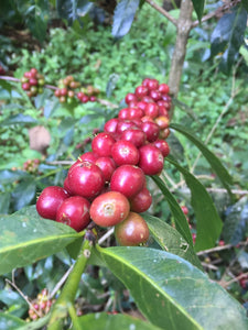 Ethiopia Heirloom from Abana Estate Natural - African Single Origin