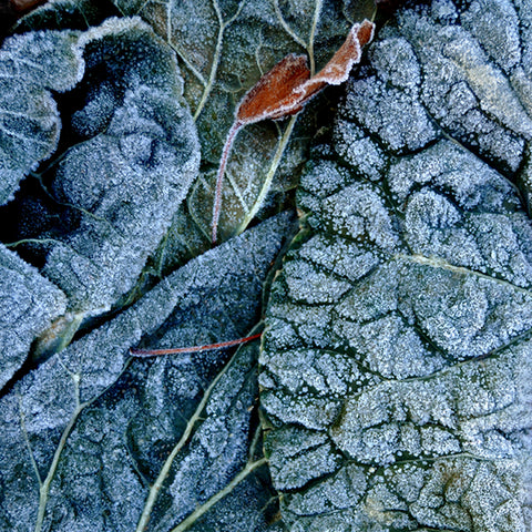 Cabbage in Frost