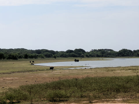 Elephants in Yala National Park, Sri Lanka