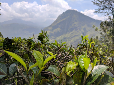 Through the tea up to Little Adams Peak