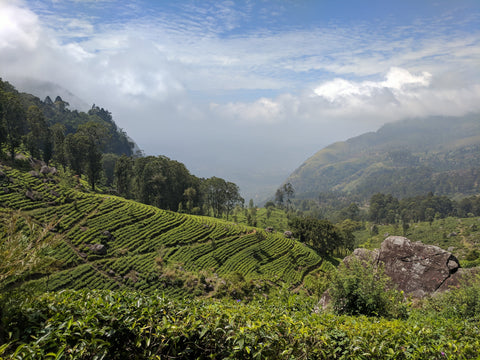 Slopes of tea in Ella