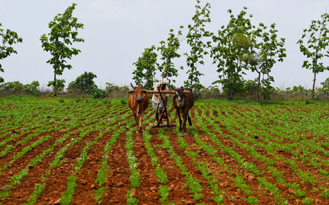 Small holder organic farmer in Madhya Pradesh