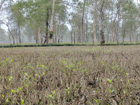 The budding tea leaves of pruned tea bushes at Chota Tingrai Tea Estate