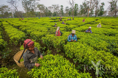 Women picking tea in Assam, India