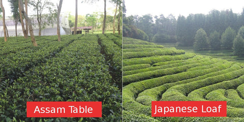Assam tea table versus Japanese tea loaf
