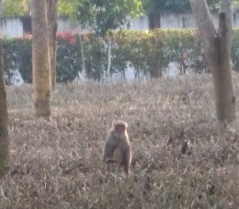 Monkey sitting in a pruned tea bush