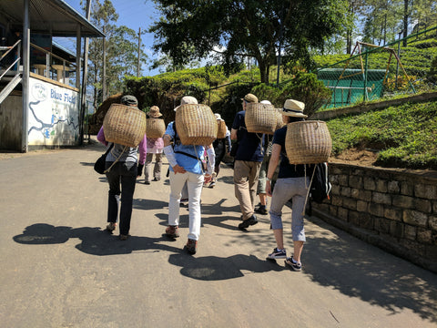 Tourists for picking tea