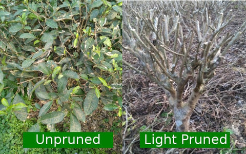 Unpruned versus light pruned tea bushes