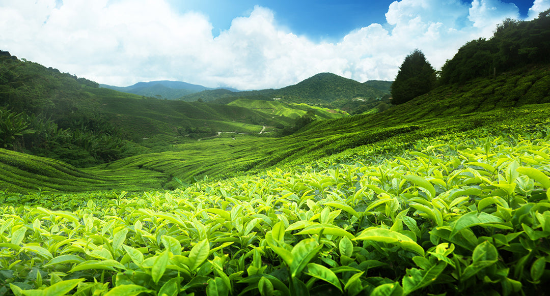 Sourcing for Quality Japanese Tea