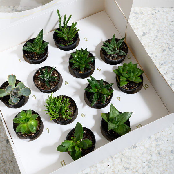12 succers of christmas