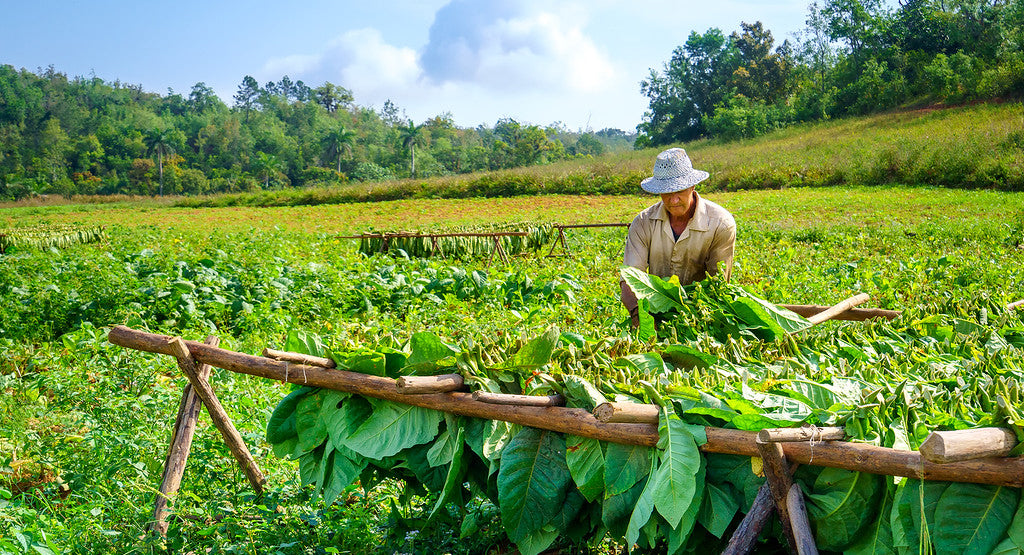 Tobacco Fields