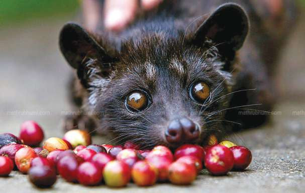 Investigation into Civet Animal Cruelty May Cloud Kopi Luwak Popularity