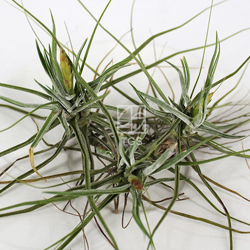Tillandsia schiedeana clump - Therapeutic Garden Sanctuary