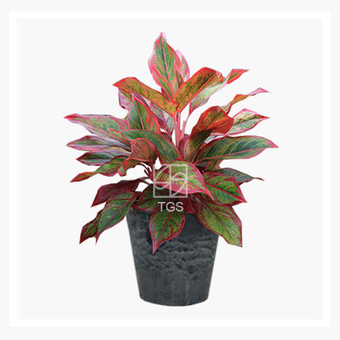 Aglaonema 'Siam Aurora' - Therapeutic Garden Sanctuary